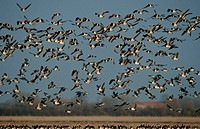 Barnacle, Geese, national, park, Wadden, Sea, Schleswig-Holstein, Germany, Branta, leucopsis