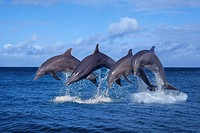 Bottlenose, Dolphines,,, Tursiops, truncatus