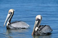 Brown, Pelicans, Sanibel, Island, Florida, USA,, Pelecanus, occidentalis