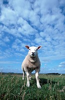 Texel, Sheep, lamb, Texel, Netherlands