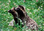 Raccoon, Dogs, Nyctereutes, procyonoides