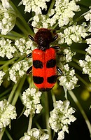 Checkered beetle (Thanasimus dubius).