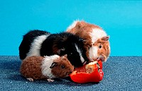 Rex, Guinea, Pig, with, young, and, Abyssinian, Guinea, Pig, eating, sweet, pepper