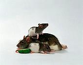 Domestic, Rats, female, with, youngs