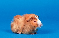 Abyssinian, Guinea, Pig,, satin,, golden, with, white