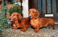 Longhaired, Dachshund, and, Shorthaired, Dachshund, at, house, door