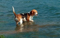 Beagle, standing, in, lake