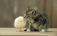 Chick, of, Domestic, Fowl, and, kitten
