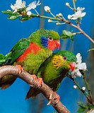 Red-flanked, Lorikeets, pair, Charmosyna, placentis