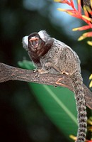 Common, Marmoset,, Callithrix, jacchus