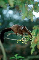 Red-bellied, Lemur,, Eulemur, rubriventer