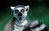 Ring-tailed, Lemur,, Lemur, catta