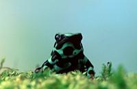 Poison, Arrow, Frog,, Dendrobates, auratus,, Poison, Dart, Frog