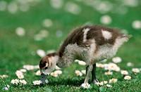 Egyptian, Goose, gosling, Alopochen, aegyptiacus, side