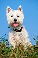 West, Highland, White, Terrier,, Westie,, collar