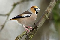 Hawfinch,, male,, Lower, Saxony,, Germany,, Coccothraustes, coccothraustes