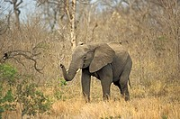 African Elephant Loxodonta africana Sabie Sand Game Reserve South Africa Africa