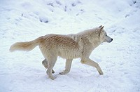 Grey Wolf White Wolf Canis lupus tundrorum Montana USA