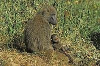 Anubis Baboon Papio anubis Lake Nakuru Nationalpark Kenya Africa