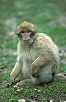 Barbary Ape Macaca sylvanus Gibraltar Marocco Africa