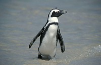 Jackass Penguin Spheniscus demersus Boulders Cape Peninsula South Africa