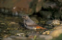 Redstart Phoenicurus phoenicurus Germany Europe