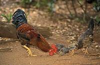 Junglefowl Gallus gallus domestic form Roatan Honduras Carib