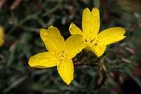 Evening Primrose Oenothera-Hybride Germany Europe
