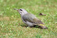 Gray-headed, Woodpecker,, female,, Germany,, Picus, canus