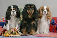 Cavalier, King, Charles, Spaniel, at, christmas, time