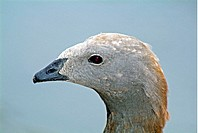 Ashy headed goose