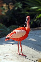 Scarlet ibis bird