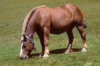 Grazing horse