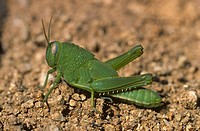 Egyptian Grasshopper (Anacridium aegyptium) nymph