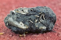 Shrew and mouse bones inside of a Common Barn Owl (Tyto alba) pellet