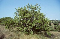 Carob tree (Ceratonia siliqua)