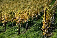 White Burgundy vineyard in autumn, Durbach. Baden-Württemberg, Germany