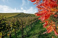 Vineyard and staghorn tree in autumn, Durbach. Baden-Württemberg, Germany