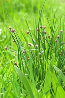 Chives growing in field