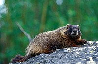 Marmot on rock, USA