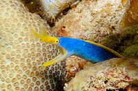 Ribbon eel (Rhinomuraena quaesita). Mabul Island, Malaysia. Celebes Sea