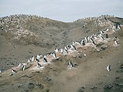 Colony of Chinstrap Penguins, Deception Island, South Shetland Islands, Antarctica