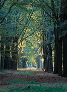 Forest track with old beech trees, the Netherlands