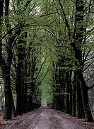 Forest track with beech trees in spring, the Netherlands