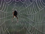 Spider in web with dewdrops