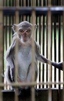 Pet monkey in cage, Borneo, Indonesia