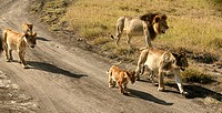 Group of lions on the Serengeti plains of Masai Mara Game Reserve Park, Kenya