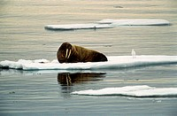 Walrus and seagull on ice floe