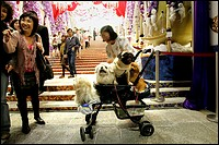 A woman with her dogs in a buggy in the streets of Hong Kong