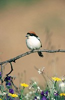 Woodchat Shrikes (Lanius senator). Extremadura. Spain